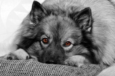 Hund auf Sofa mit Kissen und Decke
