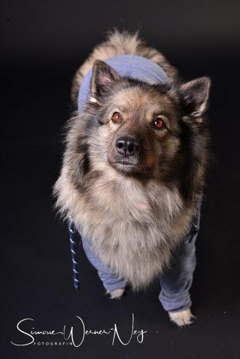 cooler Hund mit Kapuzenshirt Hoodie Wolfsspitz