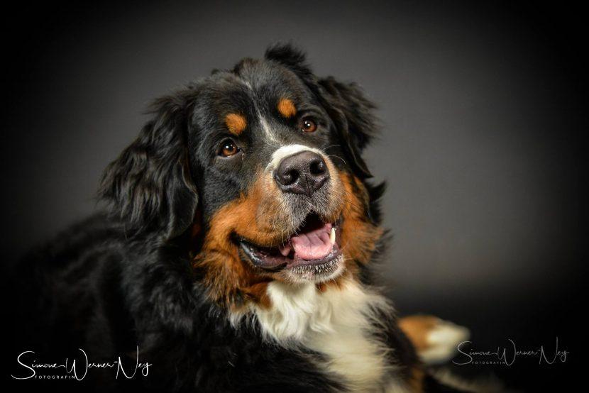Hundefotos Berner Sennenhund