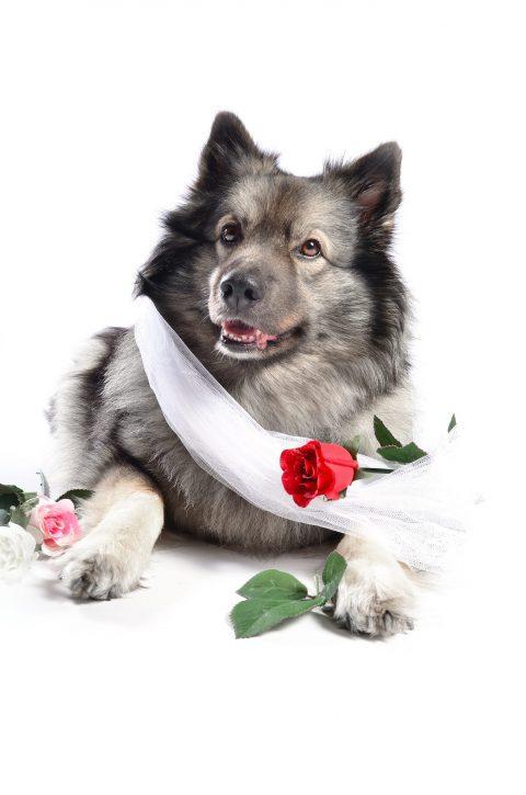 Hund mit Rose lustig